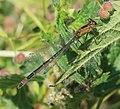 Ischnura elegans (Common bluetail) - teneral - Flickr - S. Rae.jpg