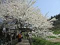 Ishibe-Zakura at Ikkimachi, Aizuwakamatsu.jpg