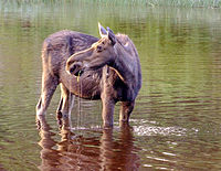 Isle Royale moose.jpg