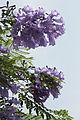 Jacaranda mimosifolia 3723.jpg