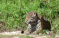 Jaguar (Panthera onca) relaxed female after her meeting with the male ... She made her point ^ - Flickr - berniedup.jpg