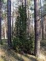 Jalovec poblíž Salaspilsu (4).jpg