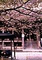 Jionji chigo sakura 2014.jpg