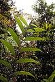 Joinvillea plicata 1 (scott.zona).jpg