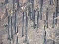 Jubaea chilensis - Incendio Palmar El Salto, Viña del Mar, febrero 2012 por Pato Novoa 018.jpg