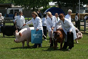 Pig show - Pig judging in Britain