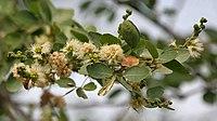 Jungle Jalebi (Pithecellobium dulce) flowers & leaves in Kolkata W IMG 4605