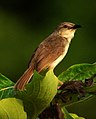 Jungle Prinia Prinia sylvatica by Dr. Raju Kasambe DSC 1766 (3).jpg