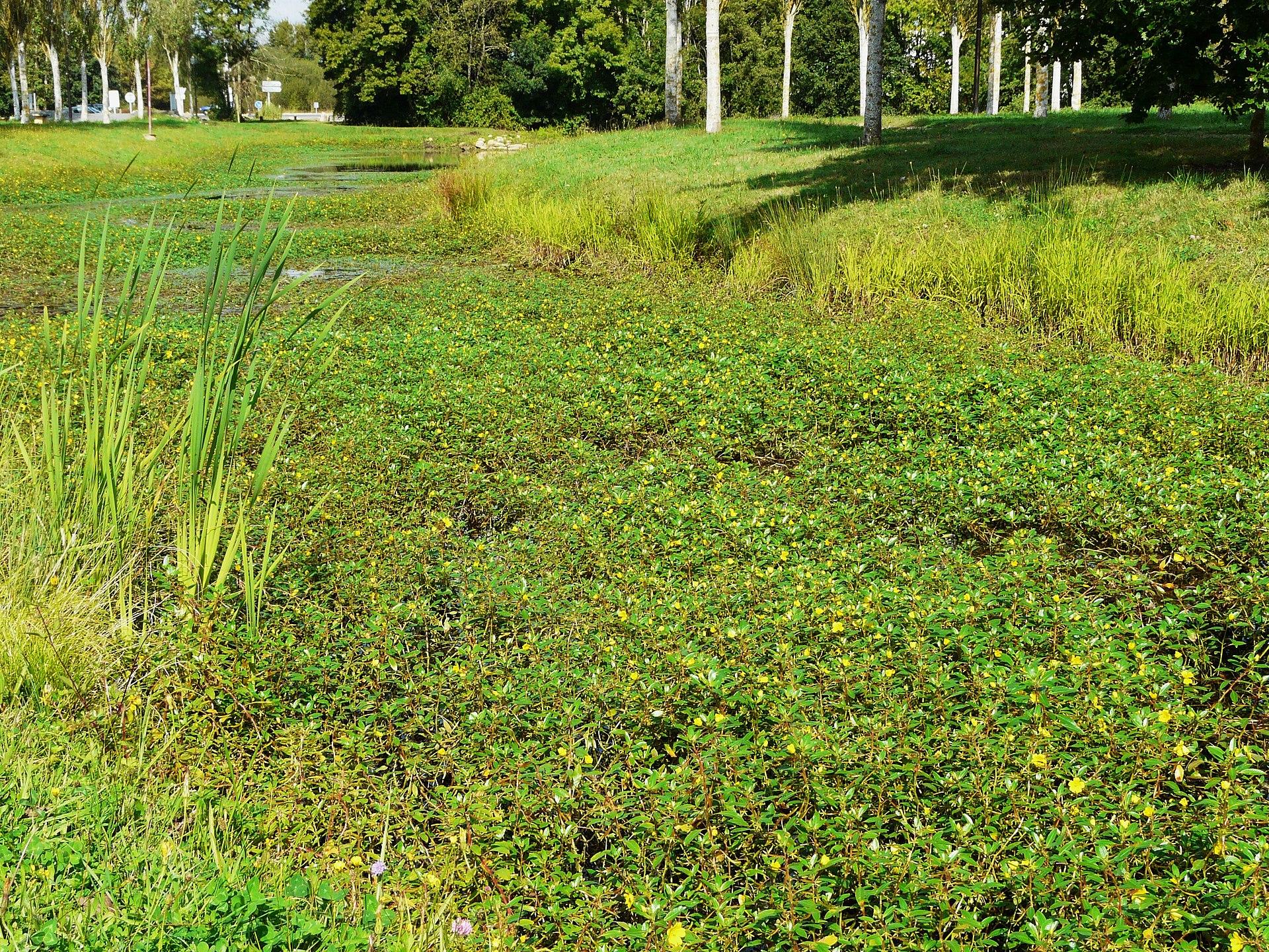 Liste des plantes invasives de bretagne wikip dia for Liste plantes
