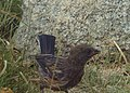 Juvenile Spotted Towhee (9190470178).jpg