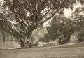 KITLV - 79909 - Kleingrothe, C.J. - Medan - Botanical Gardens, Singapore - circa 1910.tif