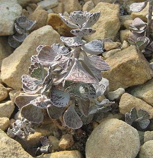 <i>Kalanchoe rhombopilosa</i> species of plant