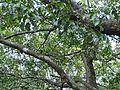 Kaluwara-Diospyros ebenum-Sri Lanka (2).jpg