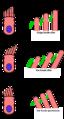 Kanäle einer Haarsinneszelle.png