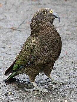 Kea Bird 045.jpg