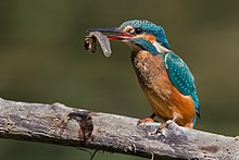 Kingfisher eating a tadpole.jpg