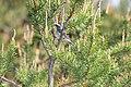 Kirtlands Warbler (Setophaga kirtlandii) (3585038291).jpg