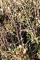 Kleinia petraea 04.jpg