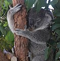 Koala 5 (30241269333).jpg