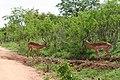 Kruger Park, Impala - panoramio.jpg