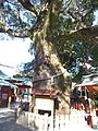 Kumano-nachi-taisha Shrine - Cinnamomum camphora.jpg