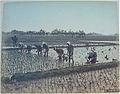 Kusakabe Kimbei 141 Planting Rice.JPG