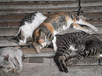 Fauna of Borneo - Borneo is home to a large population of feral cats.