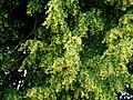 Kwitnąca lipa - panoramio.jpg