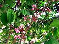 Lá và hoa khế.jpg