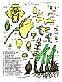 LR027 72dpi Dendrobium monophyllum.jpg