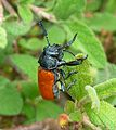 Labidostomis taxicornis. Male. Chrysomelidae - Flickr - gailhampshire (1).jpg
