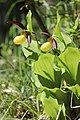 Lady's-Slipper Orchid - Cypripedium calceolus (14224755891).jpg