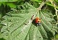 Ladybird (27836041970).jpg