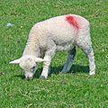 Lamb (27475688241).jpg