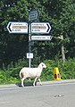 Lamb to the slaughter - geograph.org.uk - 1437552.jpg