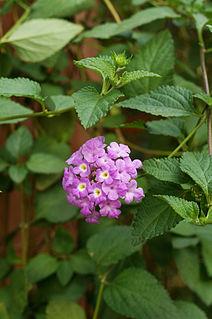 <i>Lantana montevidensis</i> species of plant