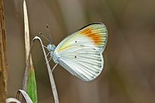 Large orange tip (Colotis antevippe antevippe) male underside.jpg