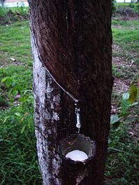 Latex being collected from a tapped rubber tree