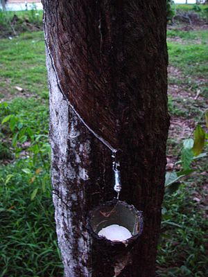 Plant physiology - Latex being collected from a tapped rubber tree.