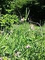 Lathyrus sylvestris sl13.jpg