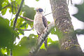 Laughing Falcon (Herpetotheres cachinnans) (8079745518).jpg