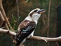 Laughing Kookaburra (109504475).jpeg