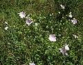 Lavatera thuringiaca 1.jpg