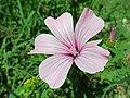 Lavatera trimestris flower – Brenner Regional Council.jpg