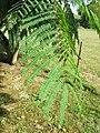 Leaf of Albizia (day).jpg