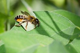 268px-Leafcutter_bee_by_Bernhard_plank.j