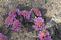 Ledebouria ovatifolia 02.jpg