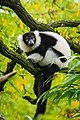 Lemur (24168851558).jpg