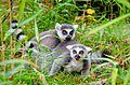 Lemur (30931057664).jpg