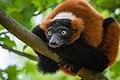 Lemur (35779732934).jpg